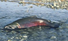 Filtering runoff saves salmon